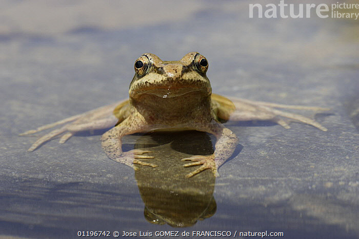 Pyrenean frog (Rana pyrenaica) sitting on rock partially submerged in water, Pyrenees, Spain  ,  AMPHIBIANS,ANURA,CUTE,EUROPE,FROGS,PORTRAITS,REFLECTIONS,SPAIN,VERTEBRATES,WATER  ,  Jose Luis GOMEZ de FRANCISCO