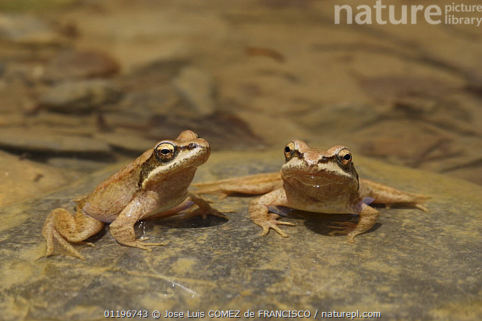 Two Pyrenean frogs (Rana pyrenaica) sitting on a rock partically submerged in water, Pyrenees, Spain  ,  AMPHIBIANS,ANURA,EUROPE,FROGS,SPAIN,TWO,VERTEBRATES,WATER  ,  Jose Luis GOMEZ de FRANCISCO