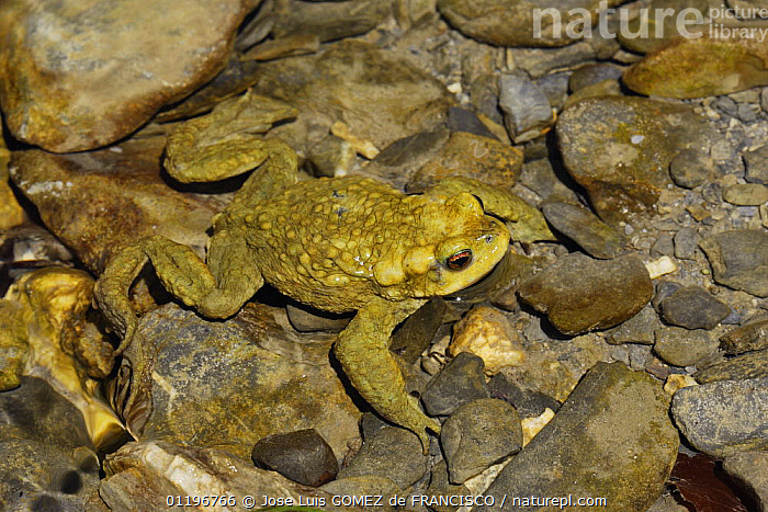 Common European toad (Bufo bufo) at water surface with head above it, Spain  ,  AMPHIBIANS,ANURA,EUROPE,FRESHWATER,HEADS,SPAIN,TOADS,VERTEBRATES,WATER  ,  Jose Luis GOMEZ de FRANCISCO