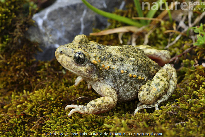 Midwife toad (Alytes obstetricans) sitting on moss, Spain  ,  AMPHIBIANS,ANURA,EUROPE,MIDWIFE TOADS,PORTRAITS,SPAIN,TOADS,VERTEBRATES  ,  Jose Luis GOMEZ de FRANCISCO
