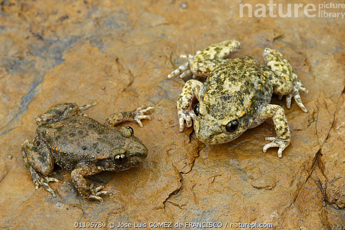 Two Midwife toads (Alytes obstetricans) on rock, Spain  ,  AMPHIBIANS,ANURA,DIMORPHISM,EUROPE,MIDWIFE TOADS,MORPHISM,SPAIN,TOADS,VERTEBRATES  ,  Jose Luis GOMEZ de FRANCISCO