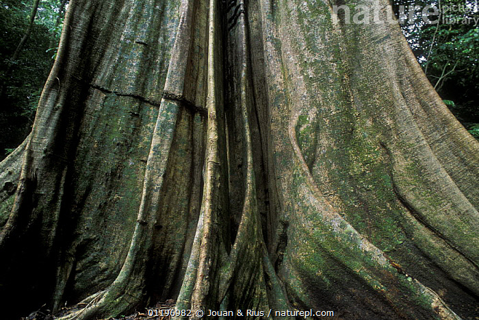 Buttress roots of giant tree in rainforest, Tortuguero NP, Costa Rica  ,  ARTY,CENTRAL AMERICA,RAINFOREST,ROOTS,SIZE,TREES,TROPICAL RAINFOREST,TRUNK,Plants,Catalogue1  ,  Jouan & Rius