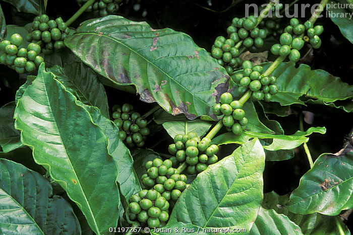 Coffee beans (Coffea sp.) ripening on bush, East Madagascar, AFRICA,BEANS,CROPS,DICOTYLEDONS,GREEN,LEAVES,MADAGASCAR,PLANTS,RUBIACEAE, Jouan & Rius