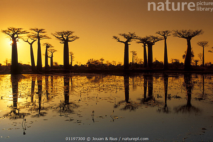 Baobab trees (Adansonia grandidieri) on the edge of a lake, silhouetted at sunset, Madagascar, AFRICA,DICOTYLEDONS,LAKES,LANDSCAPES,MADAGASCAR,MALVACEAE,ORANGE,PLANTS,REFLECTIONS,SUNSET,TREES, Jouan & Rius