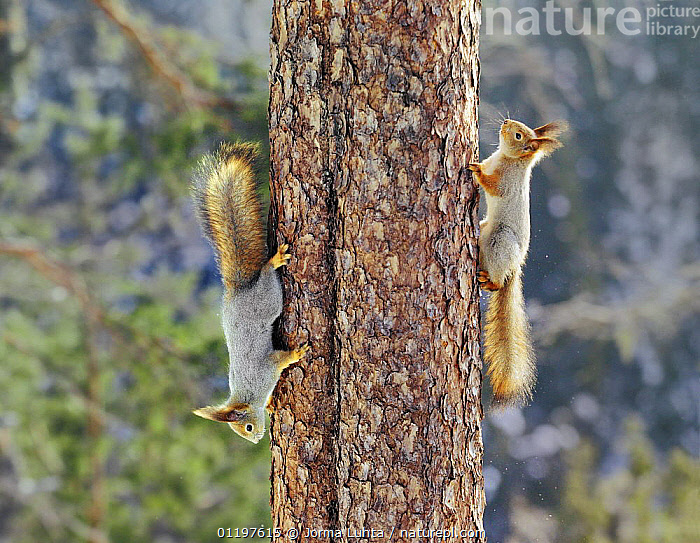 Two Red squirrels {Sciurus vulgaris} on tree trunk, one going up, one coming down, Finland  ,  EUROPE,FINLAND,HUMOROUS,MAMMALS,RODENTS,SCANDINAVIA,SQUIRREL,SQUIRRELS,TREES,TRUNKS,UPSIDEDOWN,VERTEBRATES,Concepts,Plants  ,  Jorma Luhta