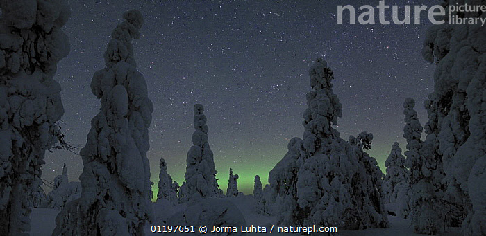 Cold winter night with snow laden pine trees and a small aurora, North Finland, 2006  ,  AURORA BOREALIS,EUROPE,FINLAND,LANDSCAPES,NIGHT,NORTHERN LIGHTS,SCANDINAVIA,SKY,TREES,WINTER,Plants, Europe  ,  Jorma Luhta