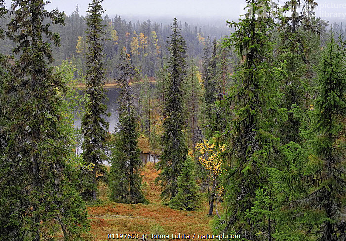 Taiga forest, Sy�te National Park, September, Oulu, Finland 2006  ,  EUROPE,FINLAND,FORESTS,LANDSCAPES,SCANDINAVIA,WOODLANDS, Europe  ,  Jorma Luhta