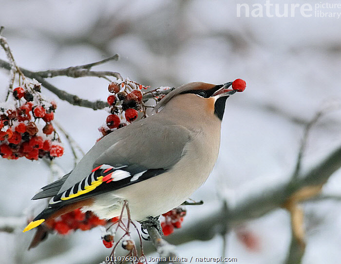 Bohemian waxwing {Bombycilla garrulus} feeding on berries, Finland  ,  BEHAVIOUR,BIRDS,EUROPE,FEEDING,FINLAND,SCANDINAVIA,VERTEBRATES,WAXWINGS,WINTER  ,  Jorma Luhta