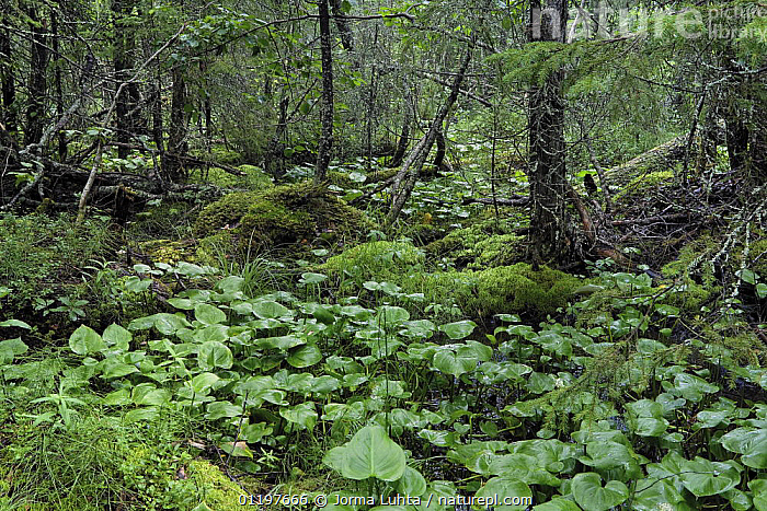 Wetland forest vegetation in wild taiga, Olvassuo national park, Finland 2007  ,  EUROPE,FINLAND,FORESTS,LANDSCAPES,NP,RESERVE,SCANDINAVIA,WETLANDS,WOODLANDS,National Park, Europe  ,  Jorma Luhta