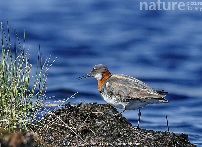 Northern phalarope {Phalaropus lobatus} beside water, Finland  ,  BIRDS,EUROPE,FINLAND,PHALAROPES,RED NECKED PHALAROPE,SCANDINAVIA,VERTEBRATES,WADERS  ,  Jorma Luhta