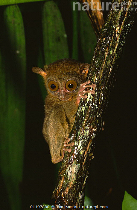 Philippine Tarsier (Tarsius syrichta) Bohol Island, Philippines, November, ASIA,ENDEMIC,MAMMALS,NIGHT,PRIMATES,TARSIERS,TROPICAL RAINFOREST,VERTEBRATES,VERTICAL,Catalogue1, Tim Laman