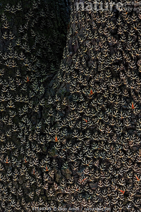 Mass of Jersey tiger moths (Euplagia quadripunctaria) on tree trunk, Rhodes, Greece  ,  BARK, CRYPTIC, EUROPE, GREECE, GROUPS, INSECTS, INVERTEBRATES, LEPIDOPTERA, MOTHS, NOCTUID-MOTHS, PATTERNS, VERTICAL,Plants  ,  Ingo Arndt