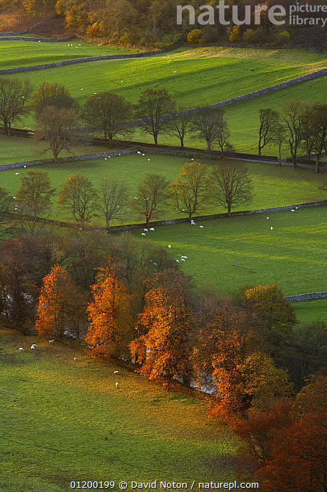 View over sheep grazing in fields with stone walls at Arncliffe, Littondale, Yorkshire Dales National Park, England, UK, autumn  ,  AUTUMN,COUNTRYSIDE,EUROPE,FARMLAND,LANDSCAPES,LIVESTOCK,RESERVE,TREES,UK,VERTICAL,WALLS,United Kingdom,Plants,British,ENGLAND  ,  David Noton