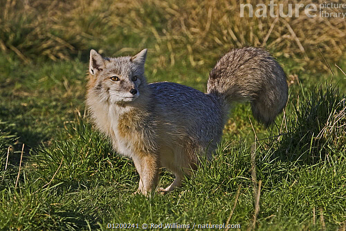Male Corsac Fox (Vulpes corsac) in winter coat, Captive, found South East USSR and Afghanistan to Mongolia  ,  ASIA,CANIDS,CARNIVORES,CUTE,FOXES,MALES,MAMMALS,PORTRAITS,VERTEBRATES,Dogs  ,  Rod Williams