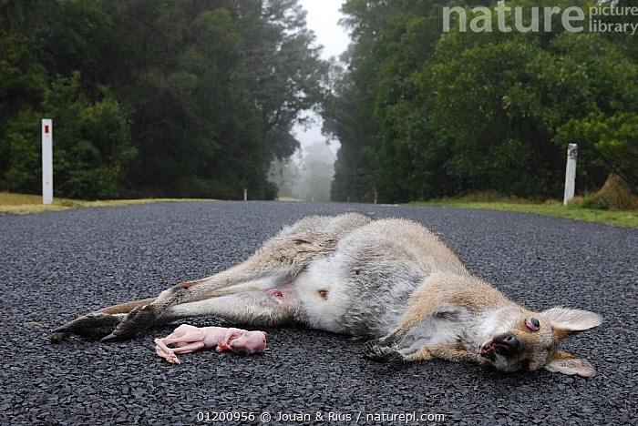 Female Red necked wallaby (Macropus rufogriseus), with joey road kill, Queensland, Australia  ,  AUSTRALASIA,AUSTRALIA,BABIES,DEATH,FAMILIES,FEMALES,MAMMALS,MARSUPIALS,ROADKILL,ROADS,VERTEBRATES,WALLABIES,Kangaroos  ,  Jouan & Rius