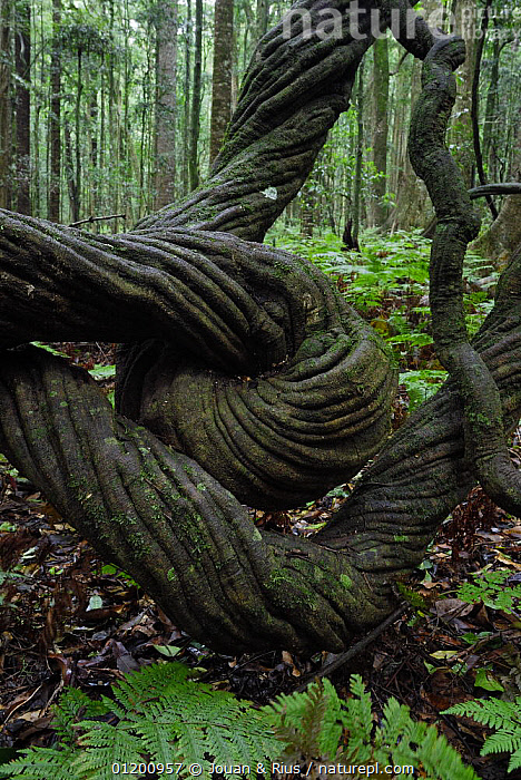 Twisted Trunk of large liana in Bunya Mountains National Park, Queensland, Australia, ARTY,AUSTRALASIA,AUSTRALIA,BARK,CLIMBERS,CONTORTION,LIANAS,NATIONAL PARK,RESERVE,TREES,TROPICAL RAINFOREST,TRUNKS,VERTICAL,Plants, Jouan & Rius
