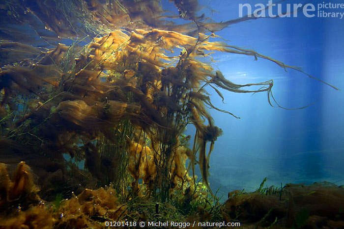 Underwater landscape in mountain creek, Swiss Alps, Gruy�re, Fribourg, Switzerland, December, ALGAE,AQUATIC,COLOURFUL,EUROPE,FRESHWATER,LANDSCAPES,PLANTS,REFLECTIONS,RIVERS,SURFACE,TEMPERATE,UNDERWATER,WINTER,Catalogue1, Michel Roggo