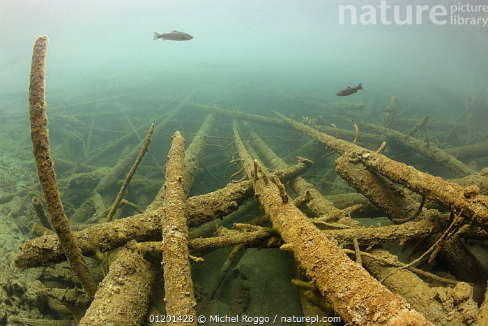 Underwater landscape in mountain lake with Rainbow trout, Berner Oberland, Swiss Alps, Switzerland, March, ALPINE,AQUATIC,BRANCHES,EUROPE,FISH,FRESHWATER,LAKES,LANDSCAPES,RAINBOW TROUT ,SALMON,SPRING,TEMPERATE,TREES,UNDERWATER,Plants,Catalogue1, Michel Roggo