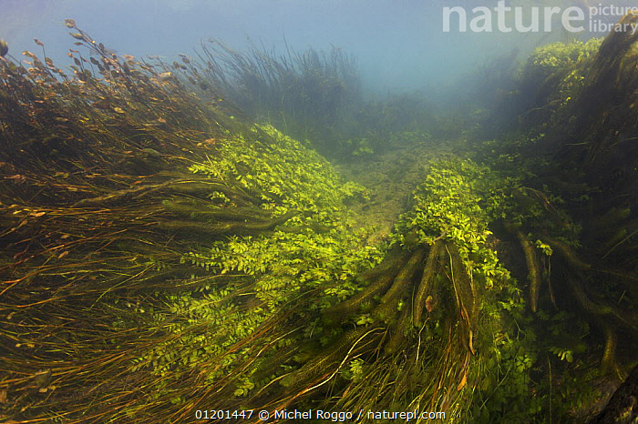 Underwater landscape in chalk stream, Croatia, October, ALGAE,AQUATIC,AUTUMN,EASTERN EUROPE,EUROPE,FRESHWATER,LANDSCAPES,PLANTS,RIVERS,TEMPERATE,UNDERWATER, Michel Roggo