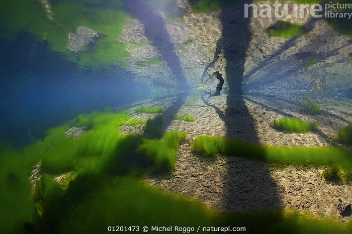 Underwater landscape in Spring creek, Saane river tributary, in winter, Gruy�re, Fribourg, Switzerland. February, ALGAE,AQUATIC,EUROPE,FRESHWATER,GREEN,GRUYERE,LANDSCAPES,MIRROR,PATTERNS,PLANTS,REFLECTIONS,RIVERS,SHADOWS,TEMPERATE,UNDERWATER,WINTER, Michel Roggo