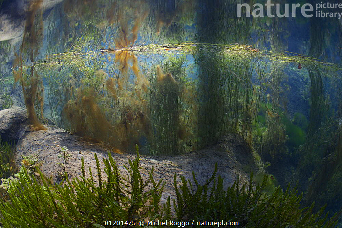 Underwater landscape in Spring creek, Saane river tributary, in winter, Gruy�re, Fribourg, Switzerland. February, ALGAE,AQUATIC,EUROPE,FLOATING,FRESHWATER,GRUYERE,LANDSCAPES,PLANTS,REFLECTIONS,RIVERS,SURFACE,TEMPERATE,UNDERWATER,WINTER,Catalogue1, Michel Roggo
