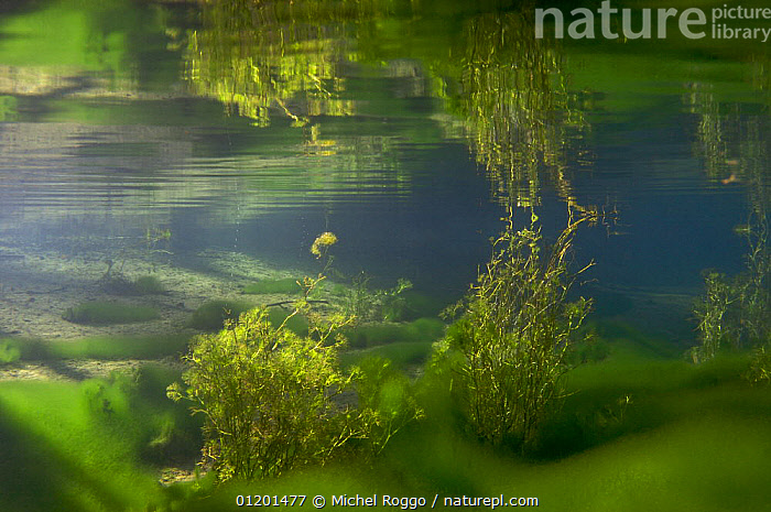 Underwater landscape in Spring creek, Saane river tributary, in winter, Gruy�re, Fribourg, Switzerland. February, ALGAE,AQUATIC,EUROPE,FRESHWATER,GRUYERE,LANDSCAPES,PLANTS,REFLECTIONS,RIVERS,SURFACE,TEMPERATE,UNDERWATER,WINTER, Michel Roggo