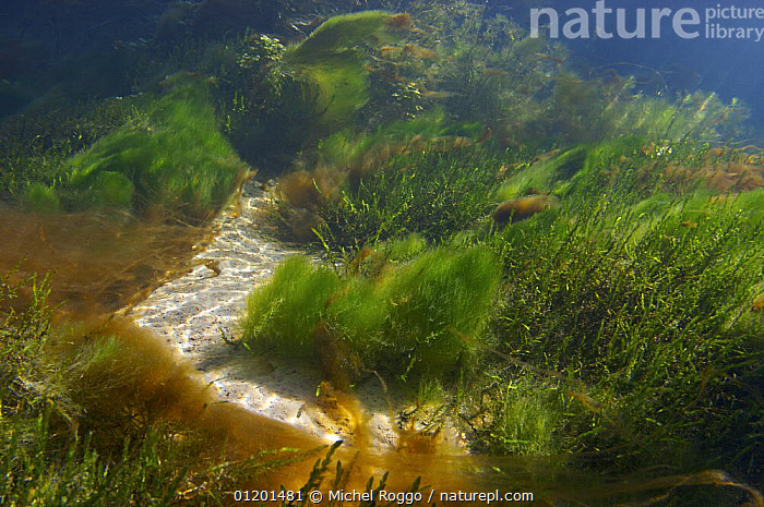 Underwater landscape in Spring creek, Saane river tributary, in winter, Gruy�re, Fribourg, Switzerland. February, ALGAE,AQUATIC,EUROPE,FRESHWATER,GRUYERE,LANDSCAPES,PLANTS,RIVERS,SAND,TEMPERATE,UNDERWATER,WINTER, Michel Roggo