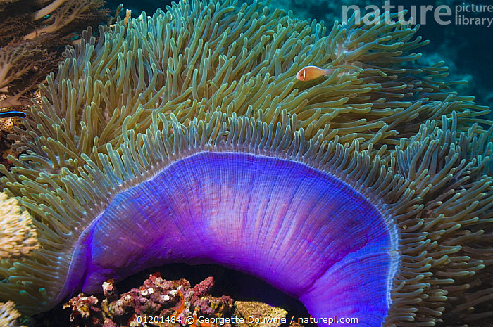 Magnificent sea anemone (Heteractis magnifica) with Anemone fish within tentacles, Indonesia. Indo-Pacific., ANTHOZOANS,BLUE,CNIDARIANS,COLOURFUL,FISH,INDO PACIFIC,INVERTEBRATES,MANTLE,MARINE,SEA ANEMONES,TROPICAL,UNDERWATER, Georgette Douwma