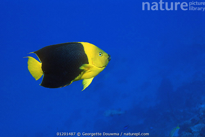 Rock beauty (Holacanthus tricolor) Bonaire, Netherlands Antilles, Caribbean, BUTTERFLYFISH,COLOURFUL,FISH,MARINE,OSTEICHTHYES,TROPICAL,UNDERWATER,VERTEBRATES,YELLOW AND BLACK,West Indies, Georgette Douwma