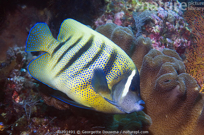 Six-banded angelfish (Pomacanthus sexstriatus) on reef, Indonesia. Indo-Pacific., FISH, INDO-PACIFIC, MARINE, OSTEICHTHYES, TROPICAL, UNDERWATER, VERTEBRATES, Georgette Douwma