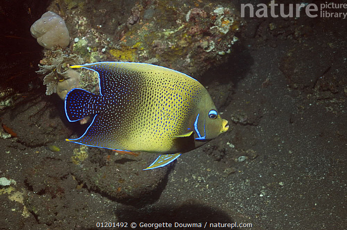 Semicircle angelfish (Pomacanthus semicirculatus). Indonesia. Indo-Pacific, FISH, INDO-PACIFIC, MARINE, OSTEICHTHYES, TROPICAL, UNDERWATER, VERTEBRATES, Georgette Douwma