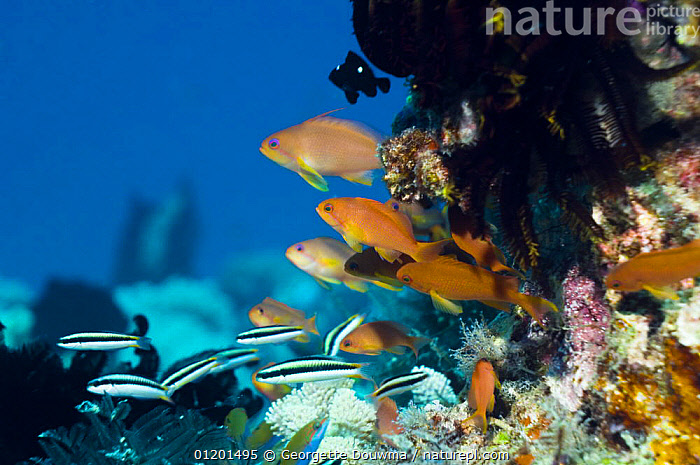 Lyretail / Scalefin anthias / Goldies (Pseudanthias squamipinnis) at coral reef, Indonesia, ANTHIAS, coral reefs, FISH, INDO-PACIFIC, MARINE, mixed species, OSTEICHTHYES, TROPICAL, UNDERWATER, VERTEBRATES,SOUTH-EAST-ASIA,Asia, Georgette Douwma