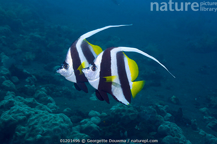 Longfin bannerfish (Heniochus acuminatus) pair, Indonesia, BLACK AND WHITE,BUTTERFLYFISH,FISH,INDO PACIFIC,MARINE,OSTEICHTHYES,TROPICAL,TWO,UNDERWATER,VERTEBRATES,SOUTH-EAST-ASIA,Asia, Georgette Douwma