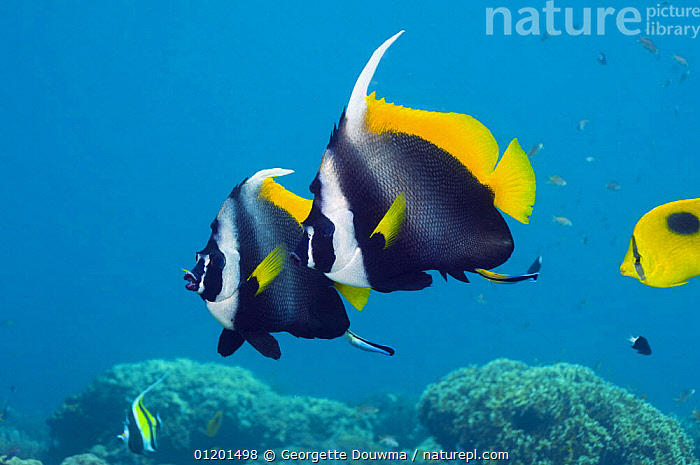 Singular bannerfish (Heniochus singularis), pair with Cleaner wrasse (Labroides dimidiatus). Bali, Indonesia, BUTTERFLYFISH,FISH,INDO PACIFIC,MARINE,OSTEICHTHYES,TROPICAL,TWO,UNDERWATER,VERTEBRATES,SOUTH-EAST-ASIA,Asia, Georgette Douwma
