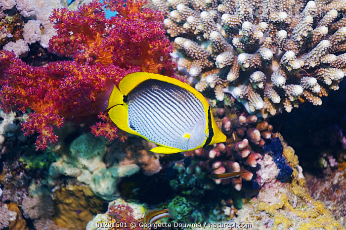 Black-backed butteflyfish (Chaetodon melannotus) with soft coral. Red Sea, Egypt, BUTTERFLYFISH,CORAL REEFS,FISH,MARINE,OSTEICHTHYES,RED SEA,TROPICAL,UNDERWATER,VERTEBRATES,NORTH-AFRICA,Africa, Georgette Douwma