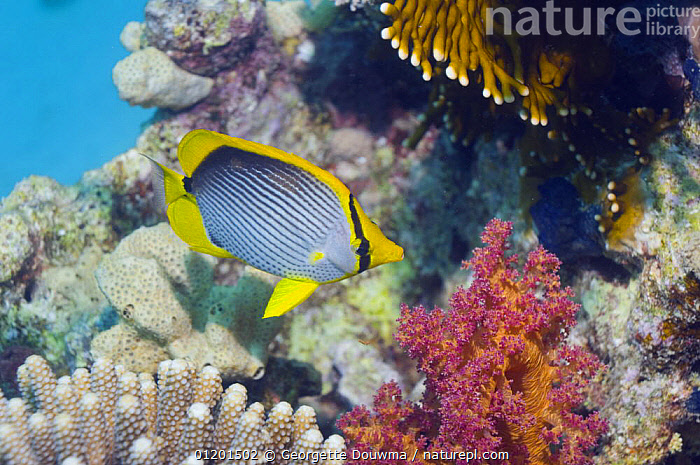 Black-backed butteflyfish (Chaetodon melannotus) on reef with soft coral. Red Sea, Egypt, BUTTERFLYFISH,CORAL REEFS,FISH,MARINE,OSTEICHTHYES,RED SEA,TROPICAL,UNDERWATER,VERTEBRATES,NORTH-AFRICA,Africa, Georgette Douwma