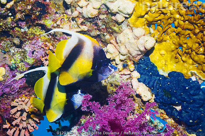 Red Sea bannerfish (Heniochus intermedius), pair at rest on reef with firecoral and soft corals. Red Sea, Egypt., BUTTERFLYFISH,COLOURFUL,CORAL REEFS,FISH,MARINE,OSTEICHTHYES,RED SEA,TROPICAL,TWO,UNDERWATER,VERTEBRATES, Georgette Douwma