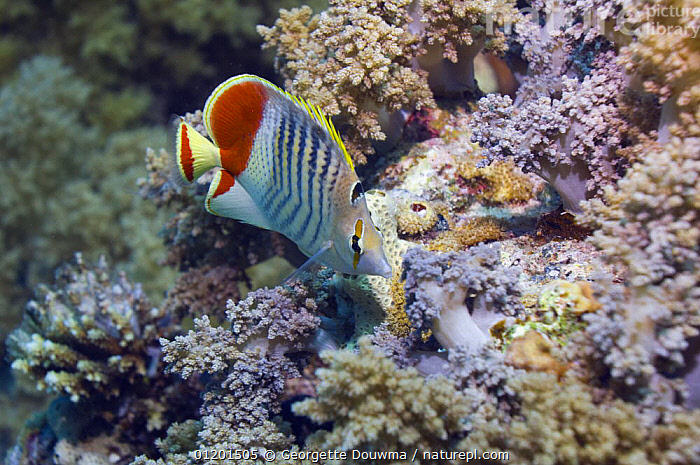 Crown butterflyfish (Cheatodon paucifasciatus) on reef. Red Sea, Egypt, BUTTERFLYFISH,CORAL REEFS,FISH,MARINE,OSTEICHTHYES,RED SEA,TROPICAL,UNDERWATER,VERTEBRATES,NORTH-AFRICA,Africa, Georgette Douwma