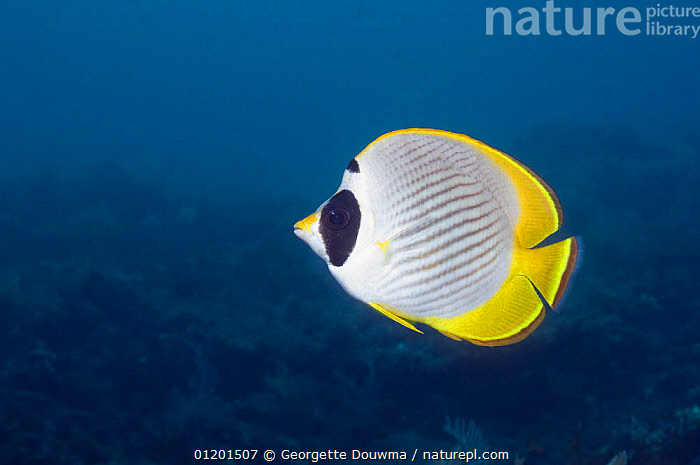 Panda butterflyfish (Chaetodon adiergastos). Bali, Indonesia, BUTTERFLYFISH,FISH,INDO PACIFIC,MARINE,OSTEICHTHYES,PORTRAITS,PROFILE,TROPICAL,UNDERWATER,VERTEBRATES,SOUTH-EAST-ASIA,Asia, Georgette Douwma