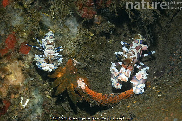 Harlequin shrimp (Hymenocera elegans), pair feeding on starfish prey. Bali, Indonesia, ARTHROPODS,BEHAVIOUR,CRUSTACEANS,ECHINODERMS,INDO PACIFIC,INVERTEBRATES,MARINE,PREDATION,SCAVENGING,SHRIMPS,TROPICAL,TWO,UNDERWATER,SOUTH-EAST-ASIA,Asia, Georgette Douwma