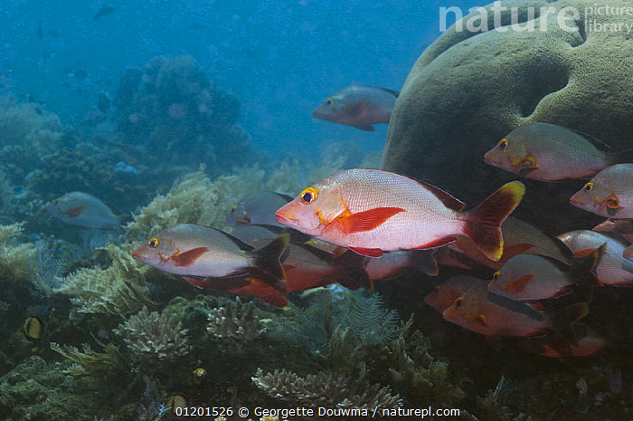 Humpback / Paddletail snapper (Lutjanus gibbus). Bali, Indonesia, FIS,GROUPS,INDO PACIFIC,MARINE,OSTEICHTHYES,SNAPPERS,TROPICAL,UNDERWATER,VERTEBRATES,SOUTH-EAST-ASIA,Asia, Georgette Douwma