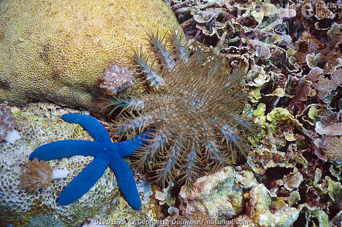 Crown-of-thorns starfish (Acanthaster planci) and Blue starfish (Linckia laevigata) on coral reef. Komodo, Indonesia., ASTEROIDEA,CORAL REEFS,ECHINODERMS,INDO PACIFIC,INVERTEBRATES,MARINE,MIXED SPECIES,PESTS,SEA STARS,STARFISH,TROPICAL,UNDERWATER, Starfish, Georgette Douwma