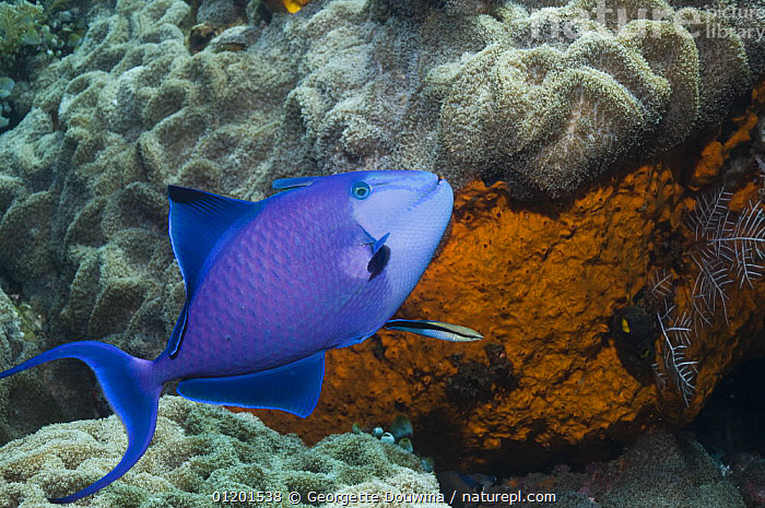 Redtoothed triggerfish (Odonus niger) with Cleaner wrasse (Labroides dimidiatus). Bali, Indonesia., BLUE,CLEANING,FISH,INDO PACIFIC,MARINE,OSTEICHTHYES,SYMBIOSIS,TRIGGERFISH,TROPICAL,UNDERWATER,VERTEBRATES,Concepts,Partnership,Partnership, Georgette Douwma