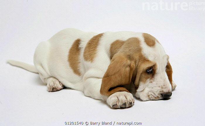Basset hound puppy lying down., BABIES,CUTE,CUTOUT,DOG,HOUNDS,MEDIUM DOGS,PETS,PUPPY,Dogs,Canids, Barry Bland