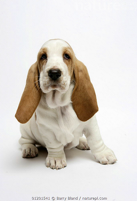 Basset hound puppy sitting, BABIES,CUTE,CUTOUT,EARS,HOUNDS,MEDIUM DOGS,PETS,PUPPY,VERTICAL,Dogs,Canids, Barry Bland