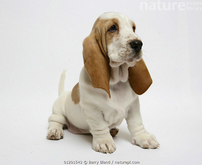 Basset hound puppy sitting, BABIES,CUTE,CUTOUT,HOUNDS,MEDIUM DOGS,PETS,PUPPY,Dogs,Canids, Barry Bland
