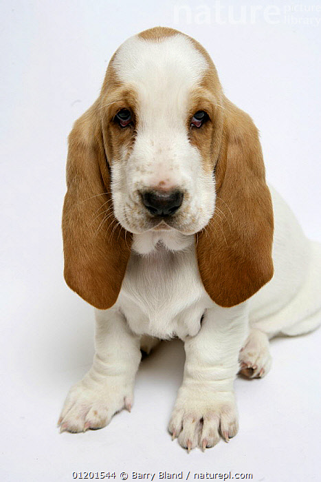 Basset hound puppy sitting, BABIES,CUTE,CUTOUT,DOG,EARS,HOUNDS,MEDIUM DOGS,PETS,PUPPY,VERTICAL,Dogs,Canids, Barry Bland