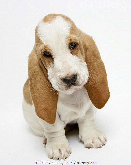 Basset hound puppy sitting, looking sad., BABIES,CUTE,CUTOUT,HOUNDS,MEDIUM DOGS,PETS,PUPPY,VERTICAL,Dogs,Canids, Barry Bland