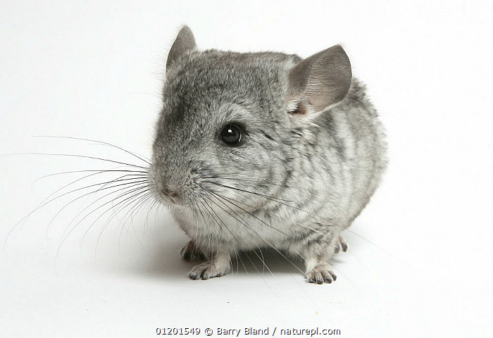Pet Chinchilla portrait, CHINCHILLAS,CUTE,CUTOUT,MAMMALS,PETS,RODENTS,VERTEBRATES,Viscachas, Barry Bland