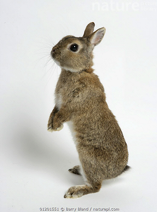 Nature Picture Library Dwarf Domestic Rabbit Standing Up On Hind